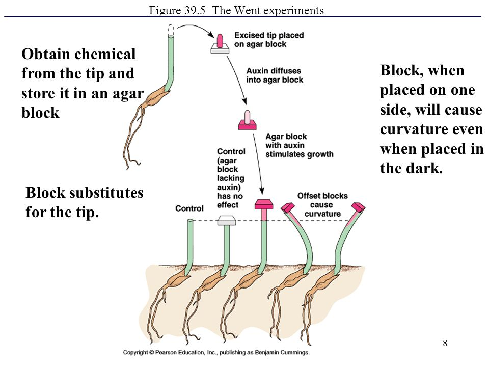 8 Figure 39.5 The Went experiments Block, when placed on one side, will cause curvature even when placed in the dark. Obtain chemical from the tip and