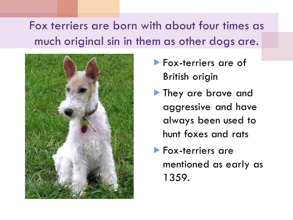 Fox terriers are born with about four times as much original sin in them as other dogs are.  Fox-terriers are of British origin  They are brave and