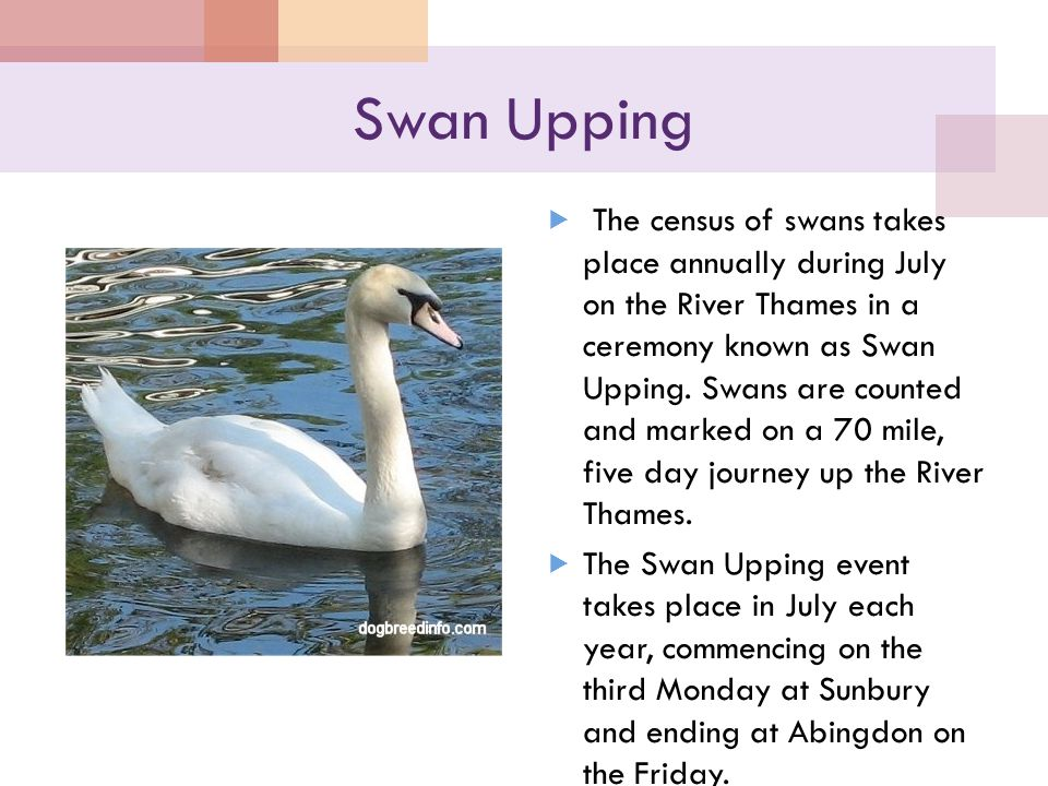 Swan Upping  The census of swans takes place annually during July on the River Thames in a ceremony known as Swan Upping.