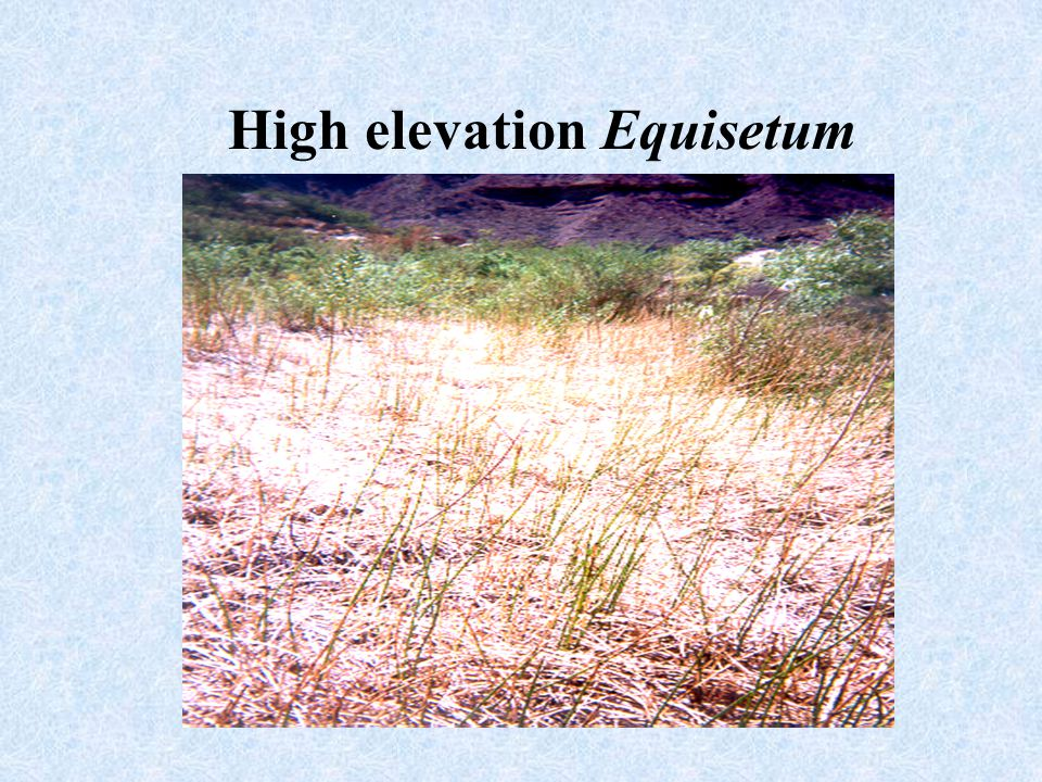 High elevation Equisetum