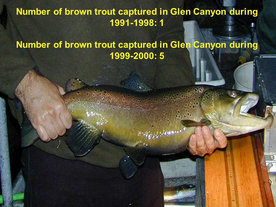 Number of brown trout captured in Glen Canyon during 1991-1998: 1 Number of brown trout captured in Glen Canyon during 1999-2000: 5