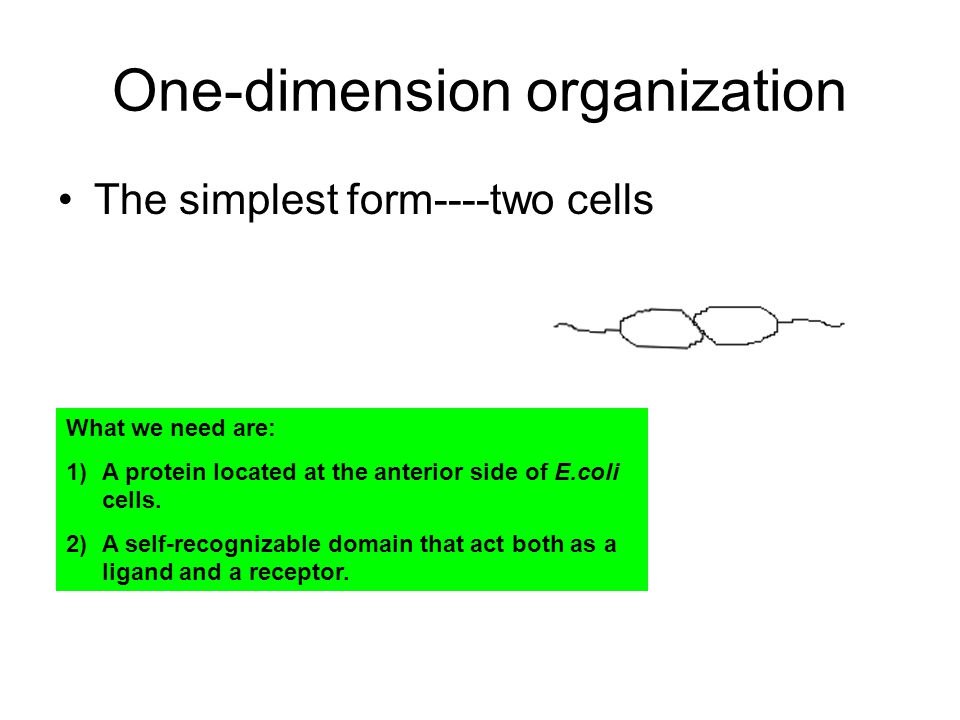 One-dimension organization The simplest form----two cells What we need are: 1)A protein located at the anterior side of E.coli cells. 2)A self-recogni