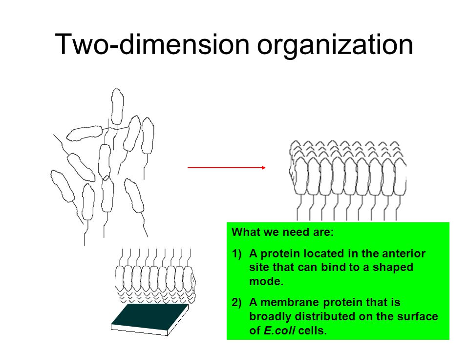 Two-dimension organization What we need are: 1)A protein located in the anterior site that can bind to a shaped mode.