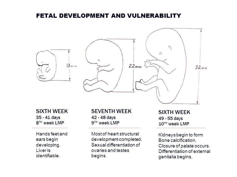 FETAL DEVELOPMENT AND VULNERABILITY SIXTH WEEK 35 - 41 days 8 TH week LMP Hands feet and ears begin developing.