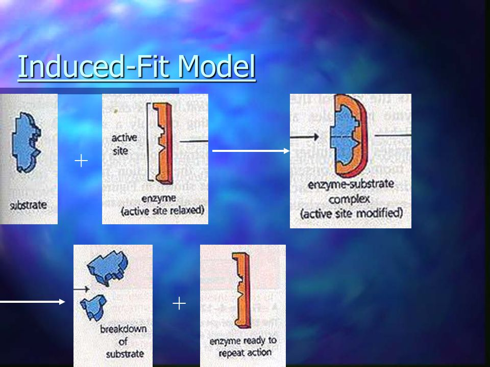 Induced-Fit Model Enzyme is not rigid It changes shape when it comes into contact with a substrate. Based on recent studies, the induced-fit model is