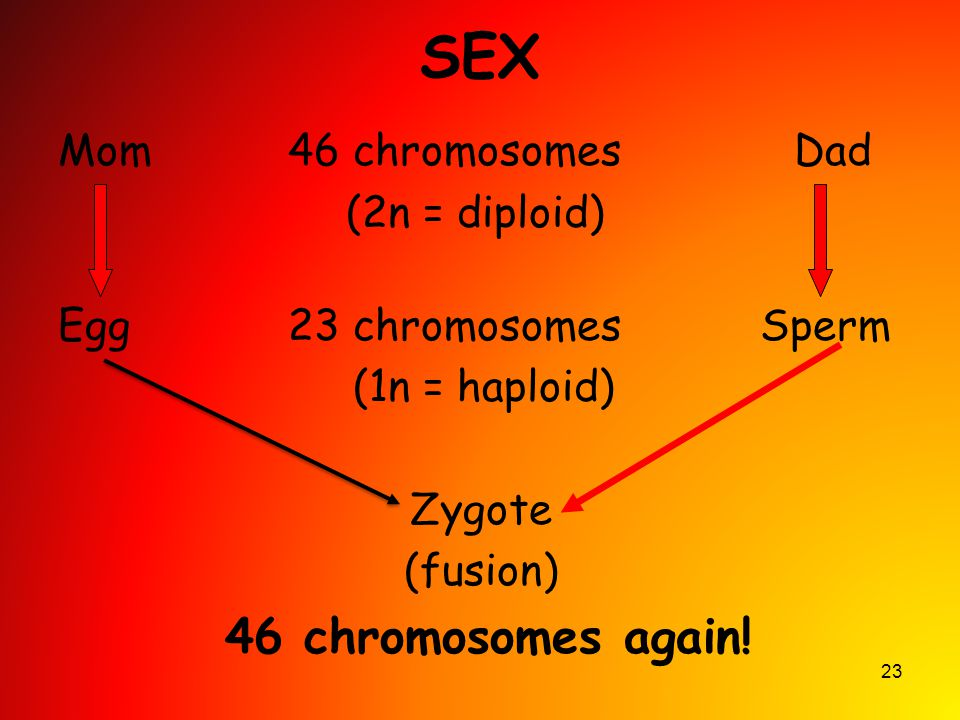 23 SEX Mom 46 chromosomes Dad (2n = diploid) Egg 23 chromosomes Sperm (1n = haploid) Zygote (fusion) 46 chromosomes again!