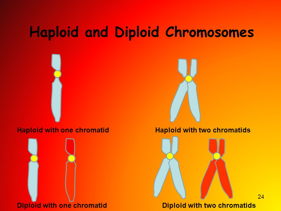 24 Haploid and Diploid Chromosomes Haploid with two chromatidsHaploid with one chromatid Diploid with one chromatidDiploid with two chromatids