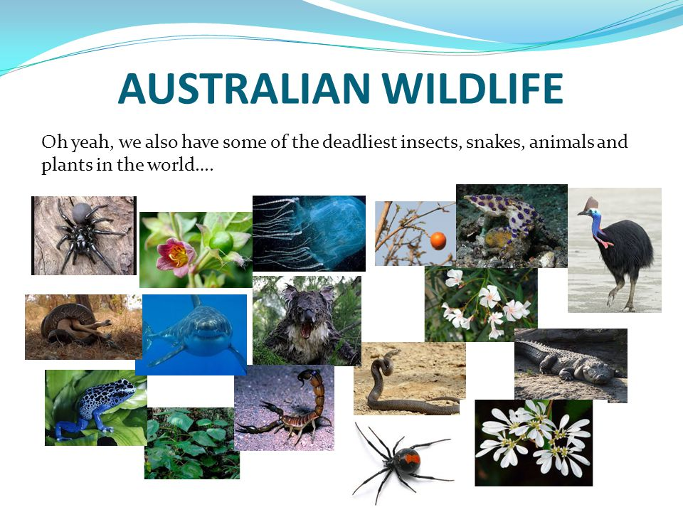 AUSTRALIAN WILDLIFE Oh yeah, we also have some of the deadliest insects, snakes, animals and plants in the world….