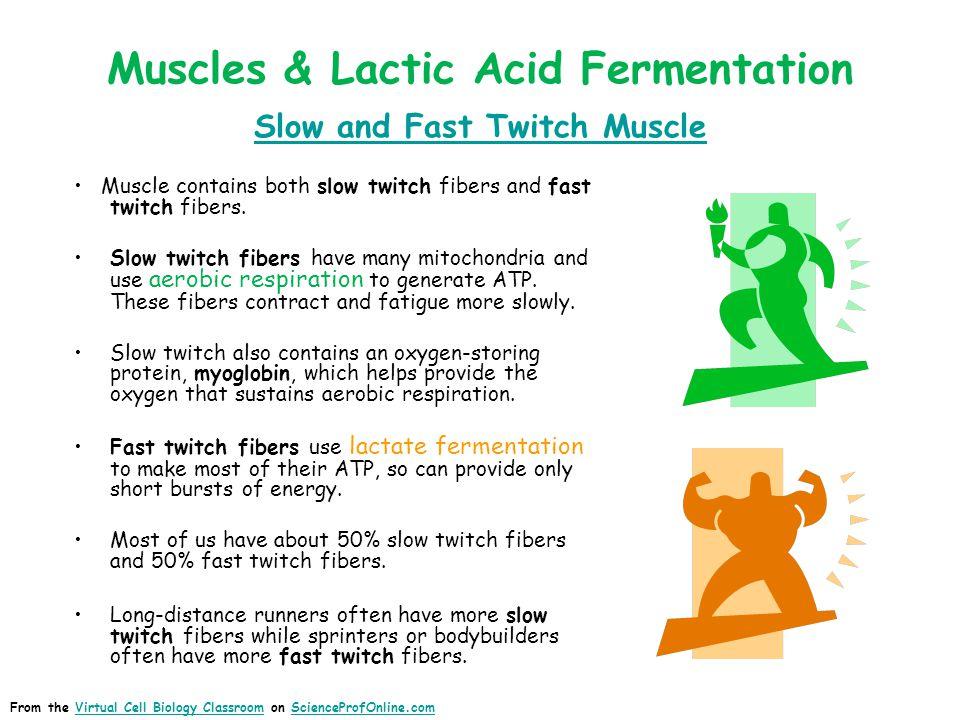 Muscles & Lactic Acid Fermentation Slow and Fast Twitch Muscle Slow and Fast Twitch Muscle Muscle contains both slow twitch fibers and fast twitch fib
