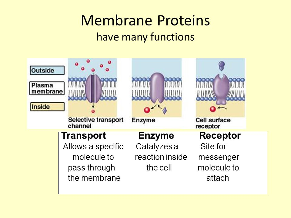 Membrane proteins (2) Identification Junctions Structure SELF – cell belongs Cells join to Keeps internal in this organism, form tissues, parts organized immunity communicate