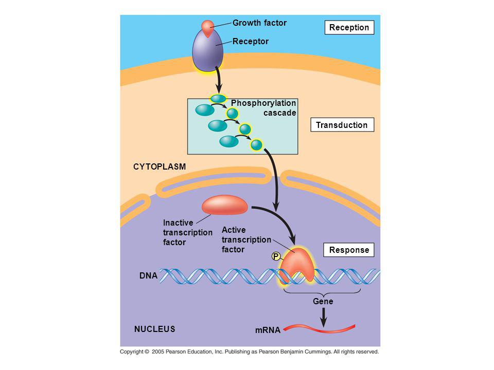 Reception Growth factor Receptor Phosphorylation cascade Transduction CYTOPLASM Inactive transcription factor Active transcription factor P Response G