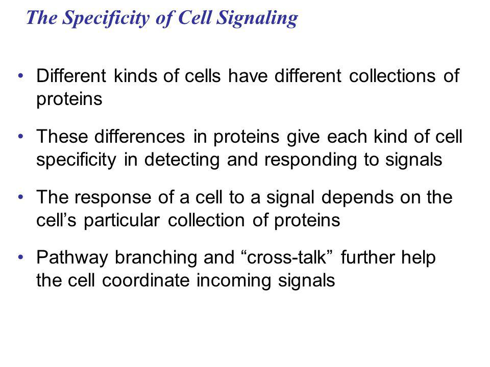 The Specificity of Cell Signaling Different kinds of cells have different collections of proteins These differences in proteins give each kind of cell