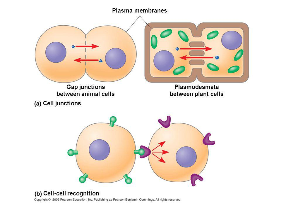 Paracrine signaling Local regulator diffuses through extracellular fluid Secretory vesicle Secreting cell Target cell Local signaling Electrical signal along nerve cell triggers release of neurotransmitter Neurotransmitter diffuses across synapse Endocrine cell Blood vessel Long-distance signaling Hormone travels in bloodstream to target cells Synaptic signaling Target cell is stimulated Hormonal signaling Target cell