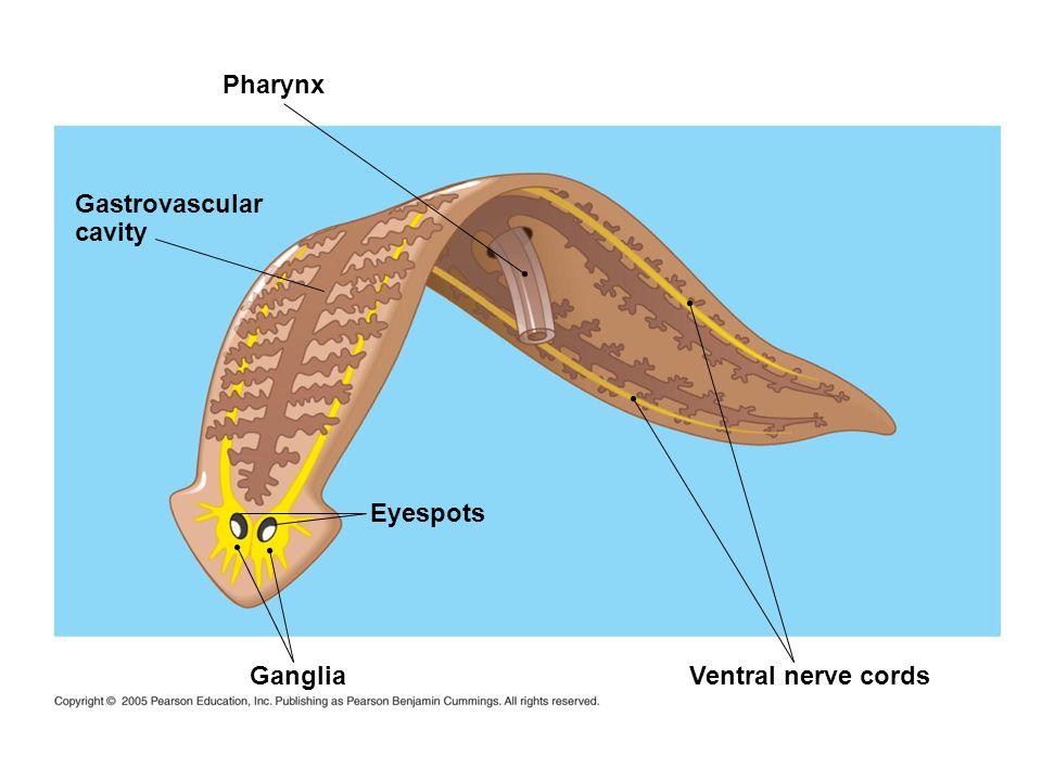 Gastrovascular cavity Pharynx Ganglia Eyespots Ventral nerve cords