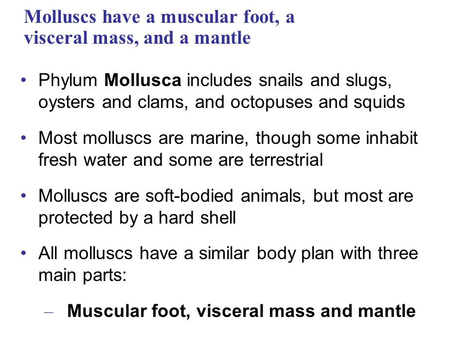 Molluscs have a muscular foot, a visceral mass, and a mantle Phylum Mollusca includes snails and slugs, oysters and clams, and octopuses and squids Mo