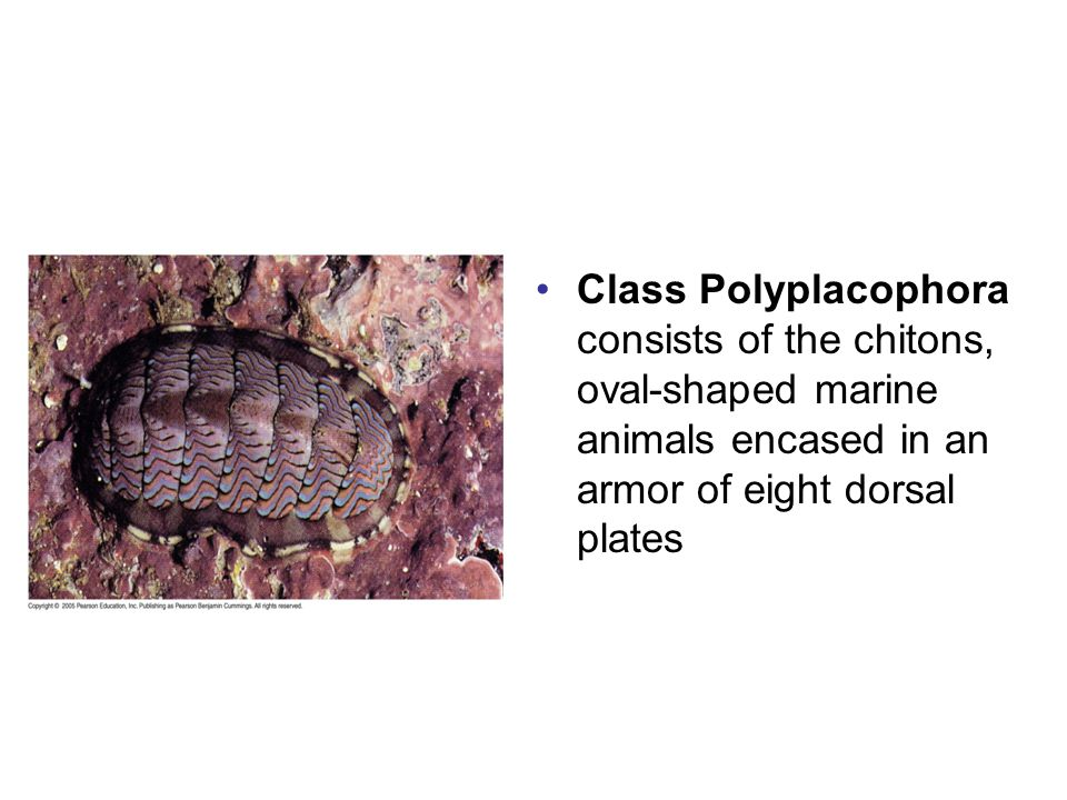 Class Polyplacophora consists of the chitons, oval-shaped marine animals encased in an armor of eight dorsal plates