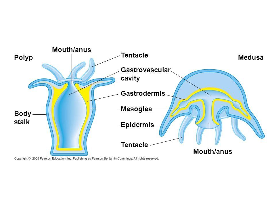 Tentacle Gastrovascular cavity Gastrodermis Mesoglea Epidermis Tentacle Mouth/anus Polyp Body stalk Medusa
