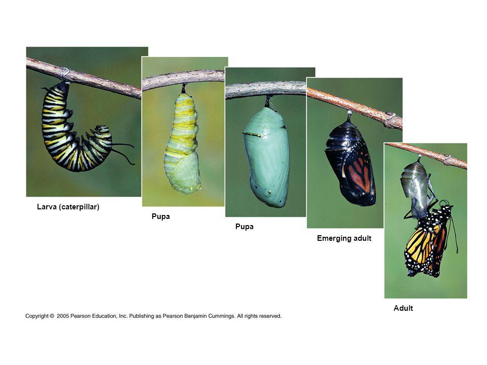 Larva (caterpillar) Pupa Emerging adult Adult