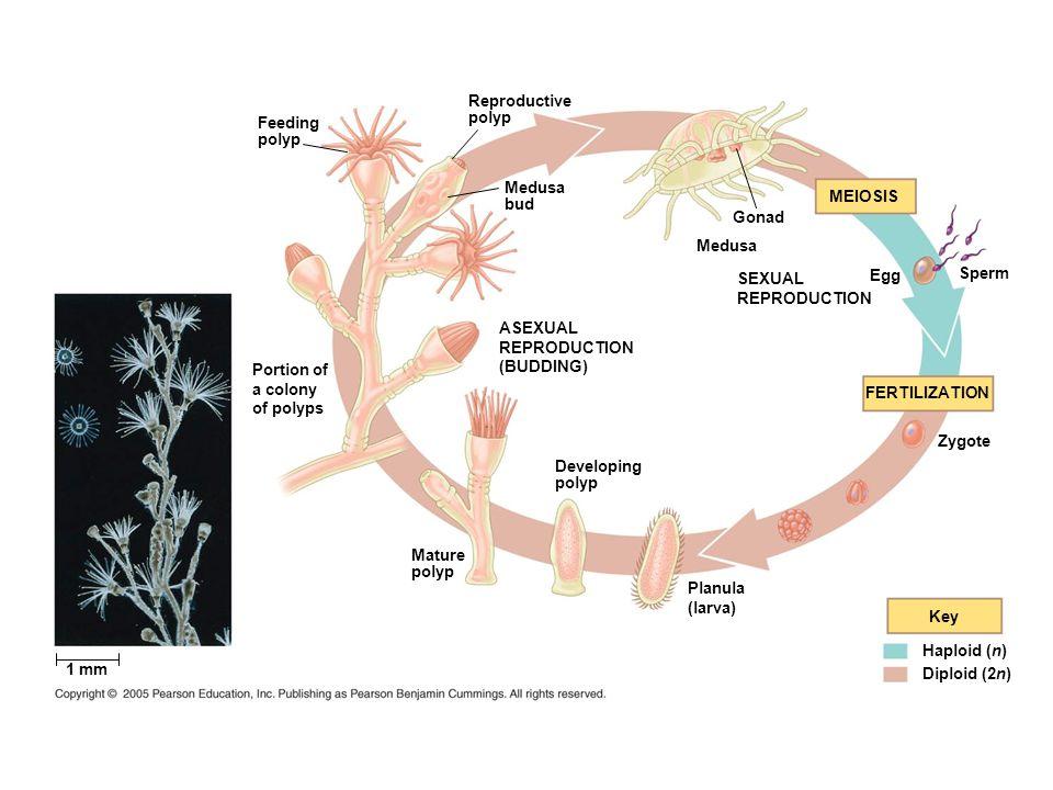Key Feeding polyp Reproductive polyp Medusa bud Gonad Medusa Haploid (n) Diploid (2n) ASEXUAL REPRODUCTION (BUDDING) Portion of a colony of polyps 1 m