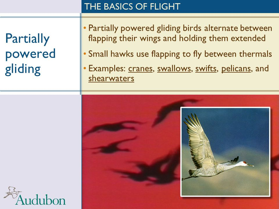 Partially powered gliding Partially powered gliding birds alternate between flapping their wings and holding them extended Small hawks use flapping to