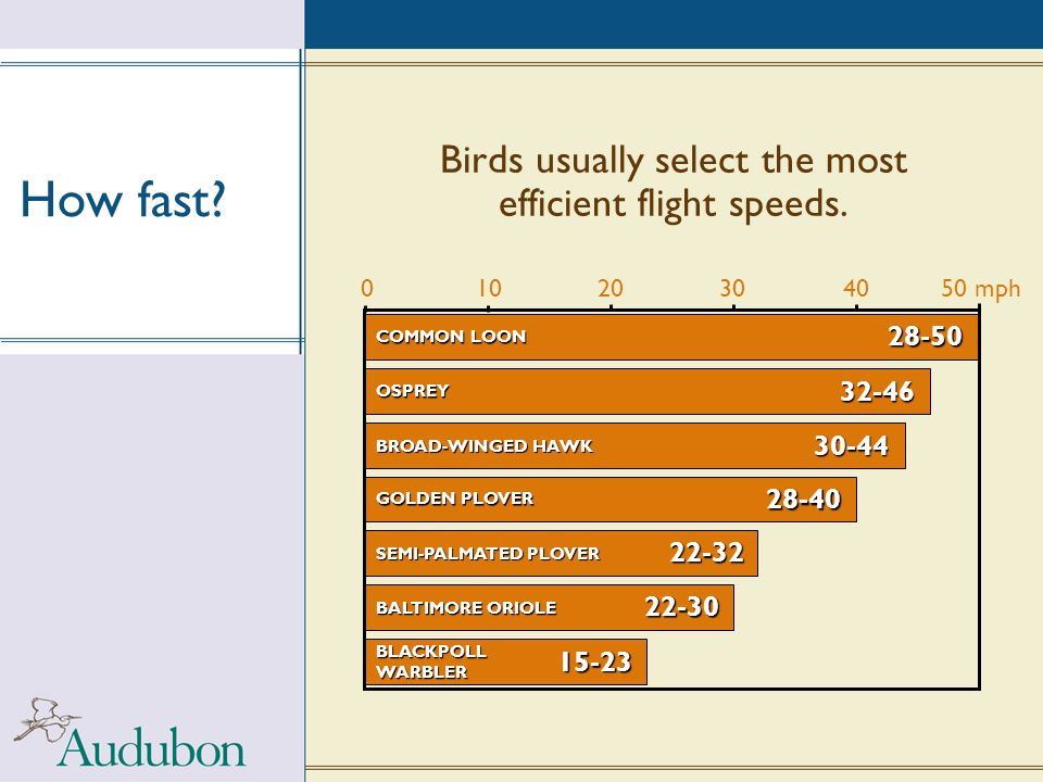 Birds usually select the most efficient flight speeds. How fast? SEMI-PALMATED PLOVER 22-32 BALTIMORE ORIOLE 22-30 BLACKPOLL WARBLER 15-23 28-40 GOLDE