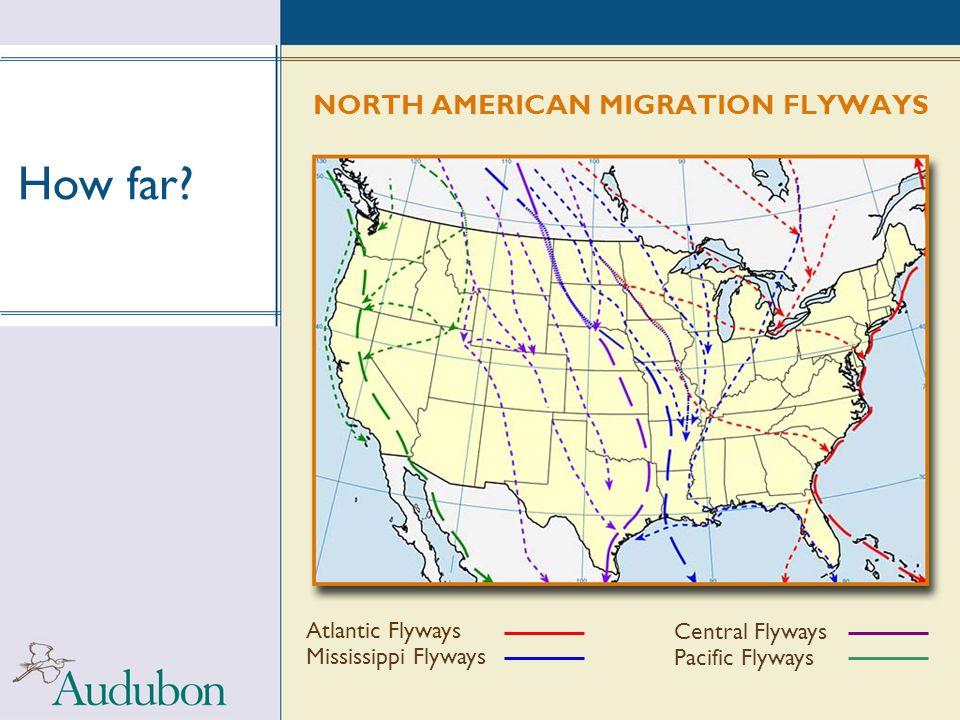 How far? NORTH AMERICAN MIGRATION FLYWAYS Atlantic Flyways Mississippi Flyways Central Flyways Pacific Flyways