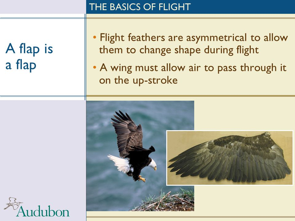 A flap is a flap Flight feathers are asymmetrical to allow them to change shape during flight A wing must allow air to pass through it on the up-strok