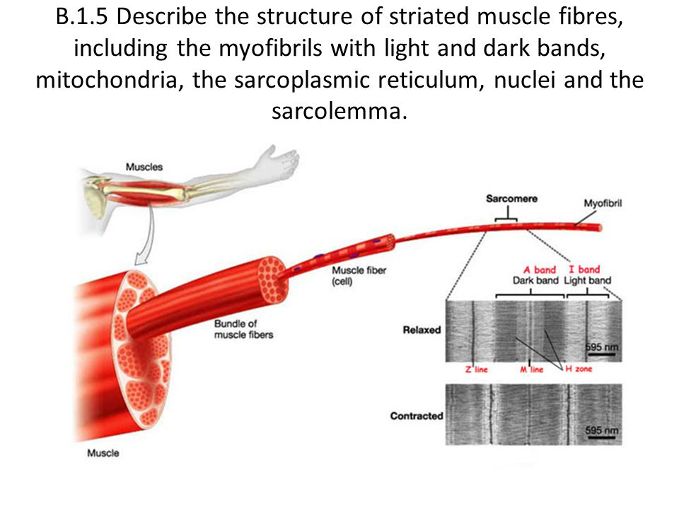 B.1.6 Draw and label a diagram to show the structure of a sarcomere, including Z lines, actin filaments, myosin filaments with heads, and the resultant light and dark bands.