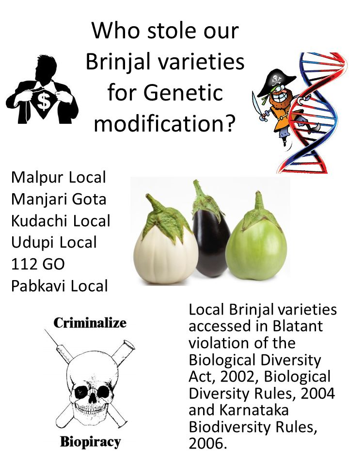 Who stole our Brinjal varieties for Genetic modification.