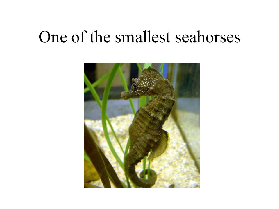 One of the smallest seahorses