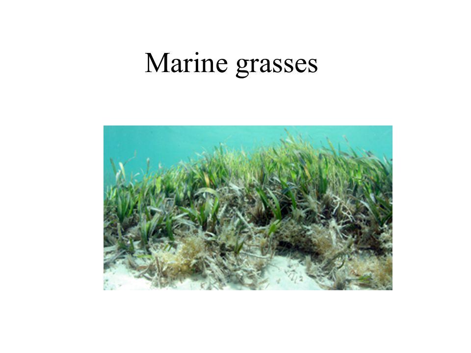 Marine grasses