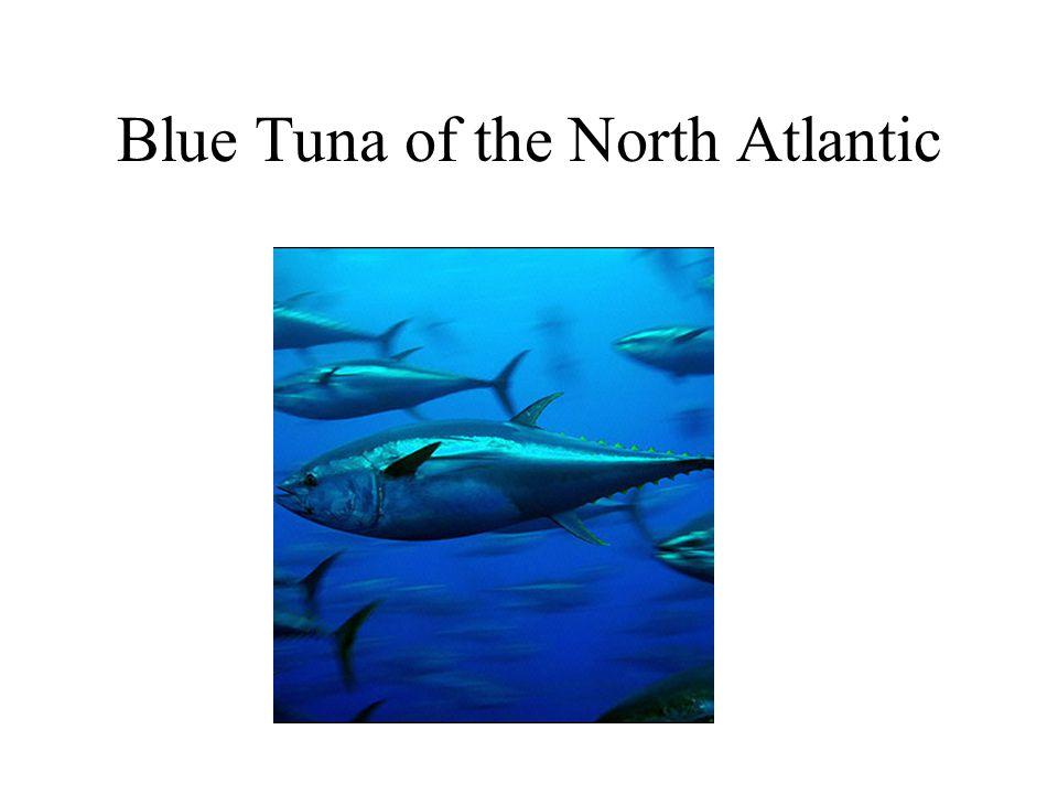 Blue Tuna of the North Atlantic