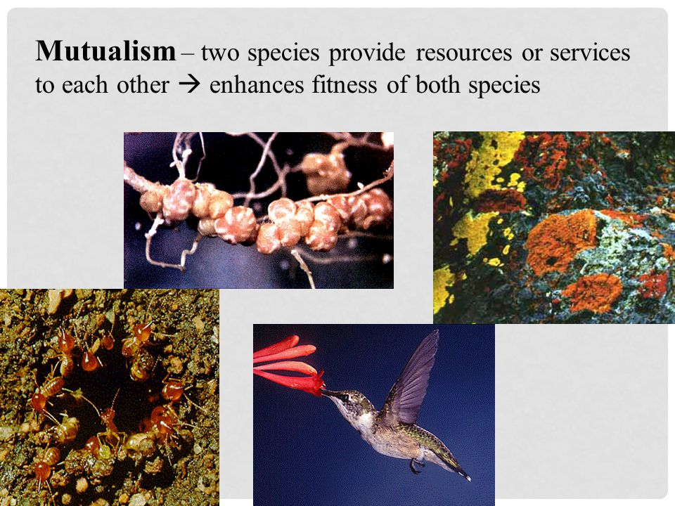 Commensalism – one species receives a benefit from another species  enhances fitness of one species; no effect on fitness of the other species