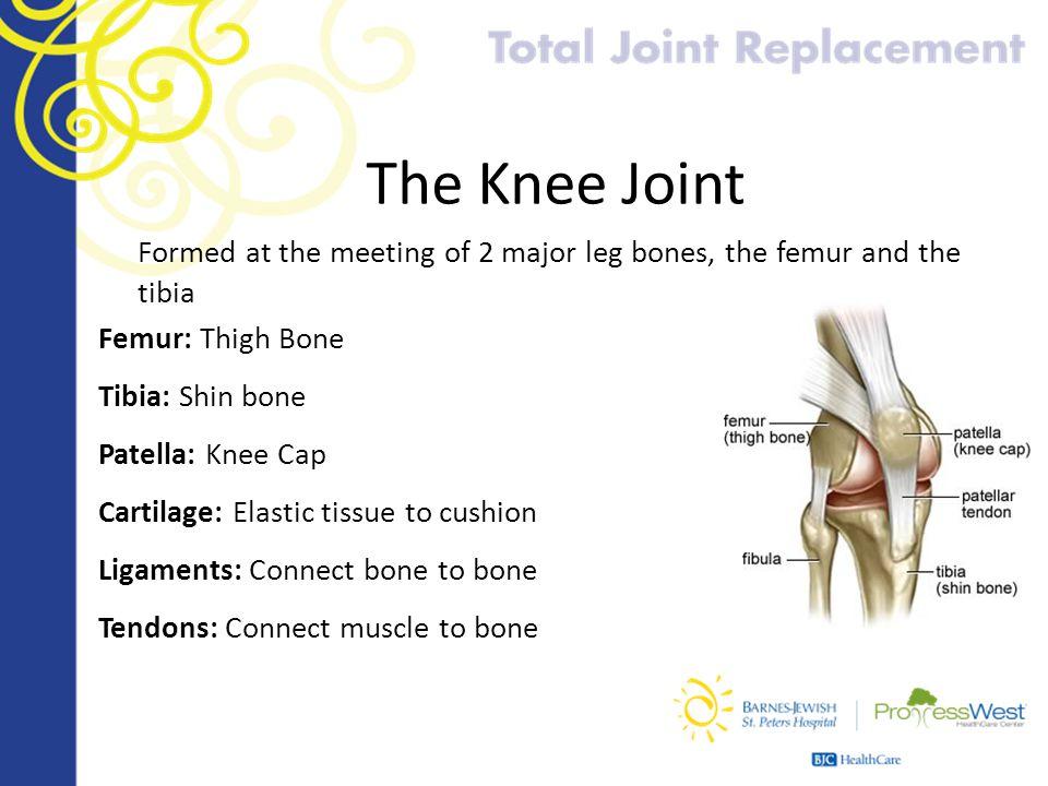 The Knee Joint Formed at the meeting of 2 major leg bones, the femur and the tibia Femur: Thigh Bone Tibia: Shin bone Patella: Knee Cap Cartilage: Ela