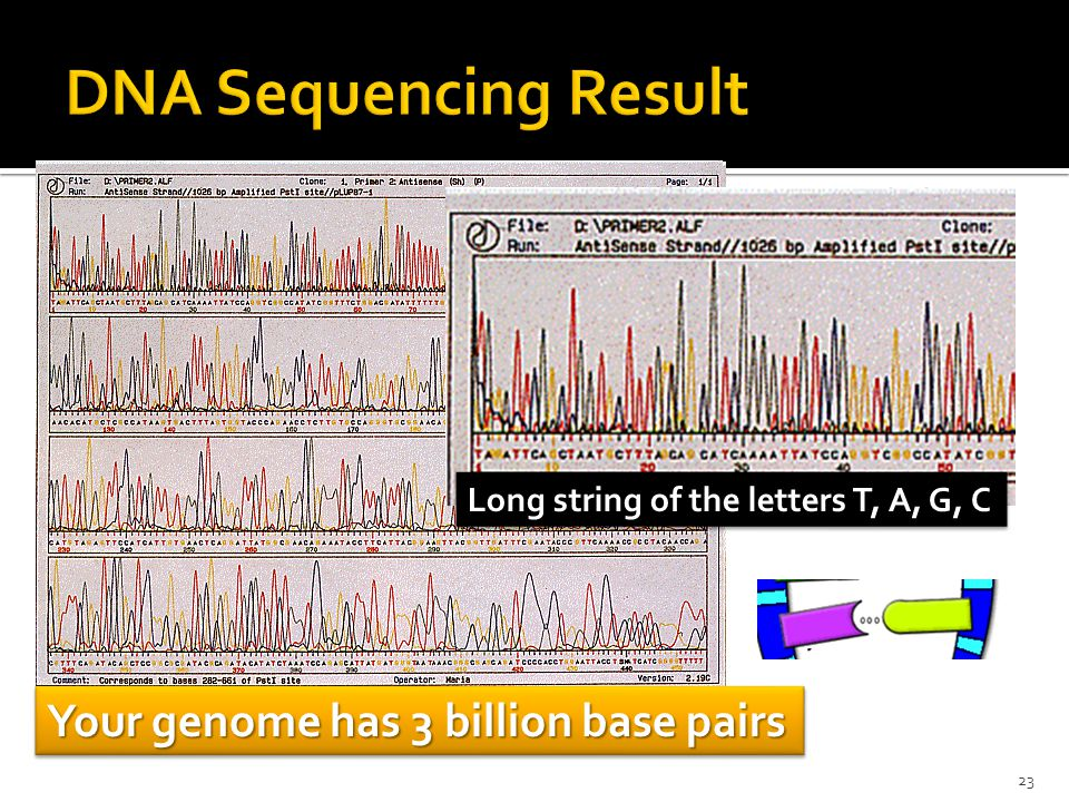 Long string of the letters T, A, G, C Your genome has 3 billion base pairs 23
