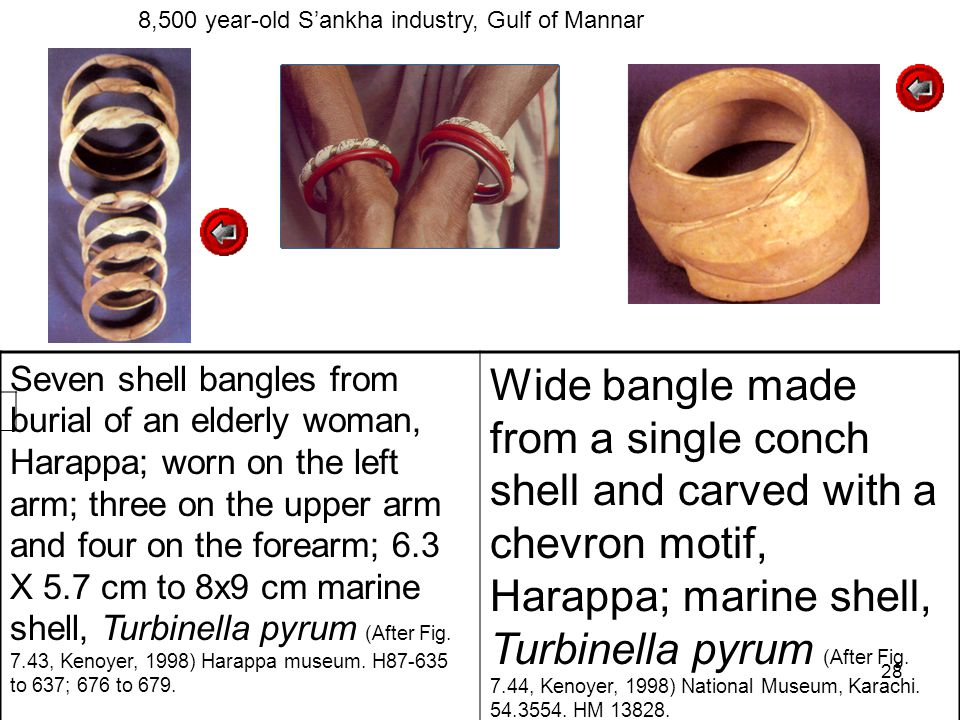 28 Seven shell bangles from burial of an elderly woman, Harappa; worn on the left arm; three on the upper arm and four on the forearm; 6.3 X 5.7 cm to 8x9 cm marine shell, Turbinella pyrum (After Fig.