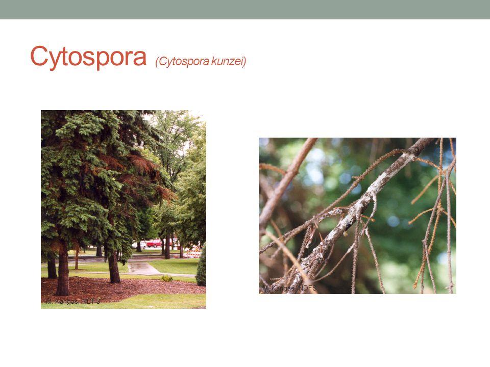 Cytospora (Cytospora kunzei) M. Kangas, NDFS