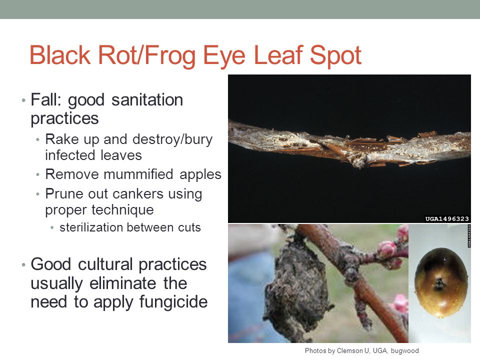 Black Rot/Frog Eye Leaf Spot Fall: good sanitation practices Rake up and destroy/bury infected leaves Remove mummified apples Prune out cankers using proper technique sterilization between cuts Good cultural practices usually eliminate the need to apply fungicide Photos by Clemson U, UGA, bugwood