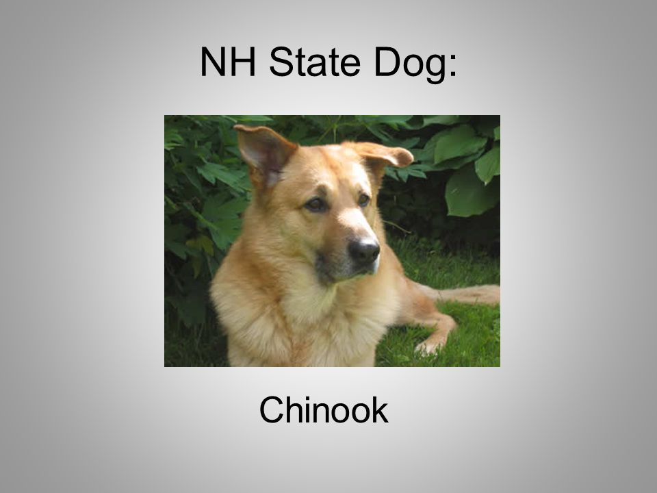 NH State Dog: Chinook