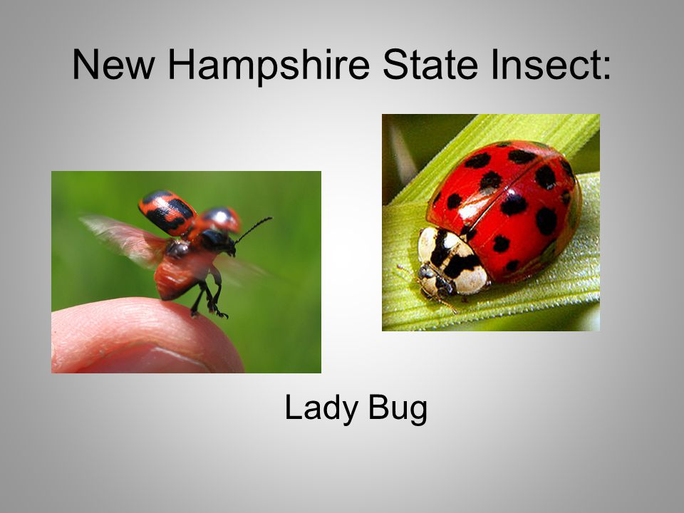 New Hampshire State Insect: Lady Bug
