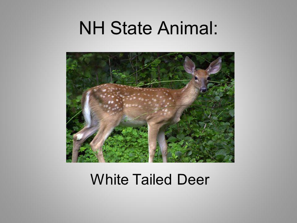 NH State Animal: White Tailed Deer
