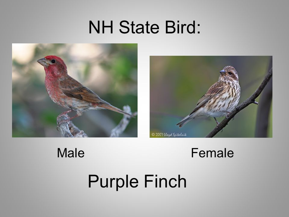 NH State Bird: MaleFemale Purple Finch
