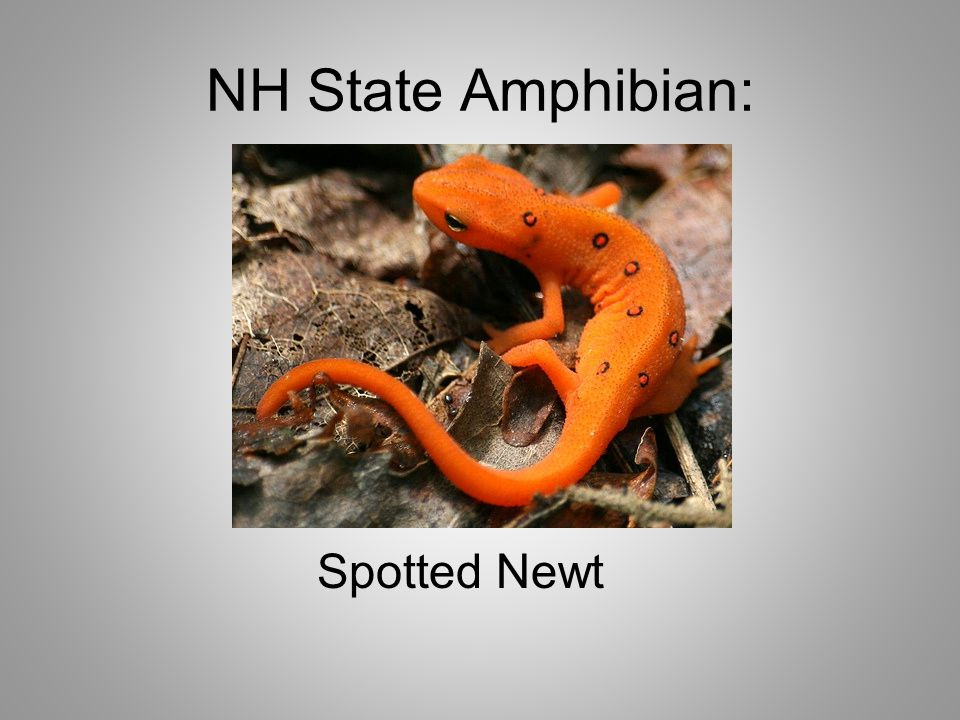 NH State Amphibian: Spotted Newt
