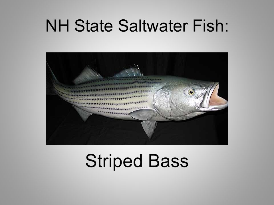 NH State Saltwater Fish: Striped Bass