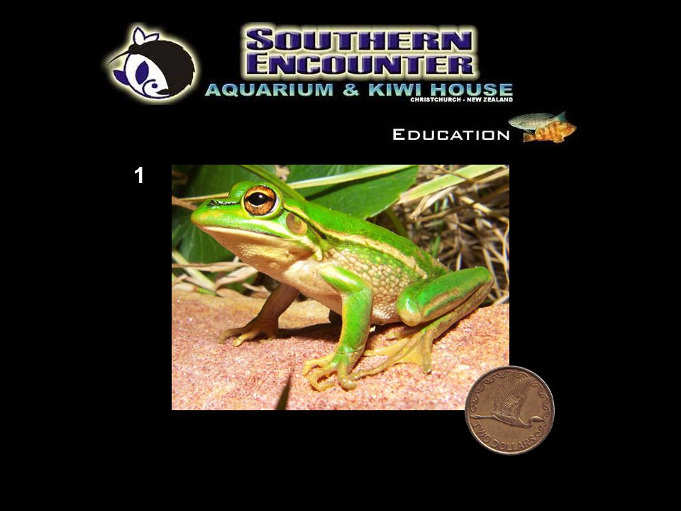 Frog Classification Use your skills as a biologist to identify the seven different frog species found in New Zealand.