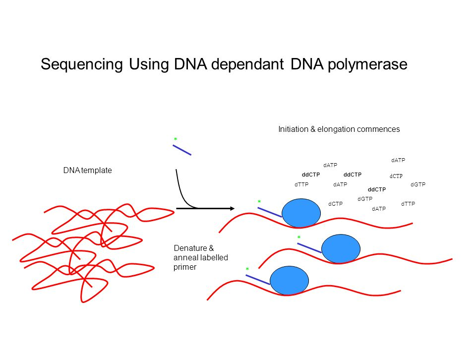 Sequencing Using DNA dependant DNA polymerase Initiation & elongation commences Denature & anneal labelled primer * * dCTP dGTP dATP dTTPdCTP dATP dTTPdATP * * DNA template ddCTP