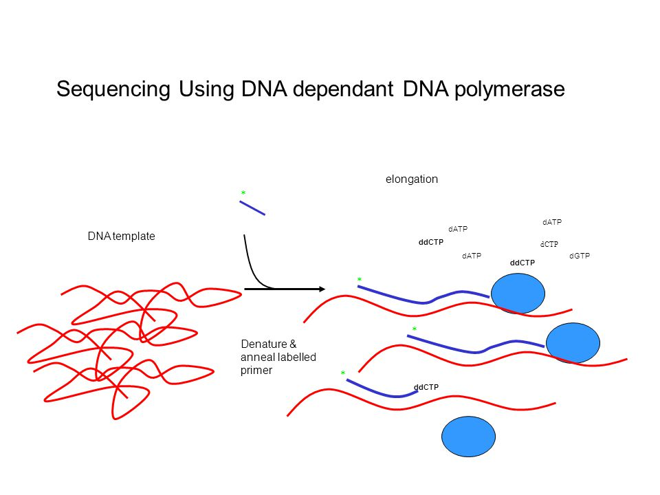 Sequencing Using DNA dependant DNA polymerase elongation ddCTP Denature & anneal labelled primer * * dCTP dGTP dATP * * ddCTP DNA template ddCTP