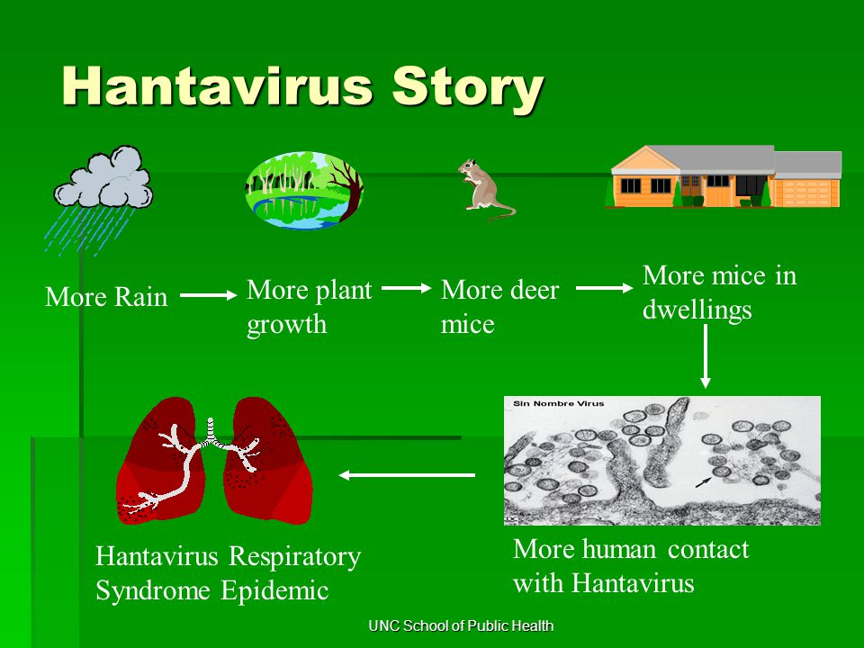 Hantavirus Story More Rain More plant growth More deer mice More mice in dwellings More human contact with Hantavirus Hantavirus Respiratory Syndrome Epidemic