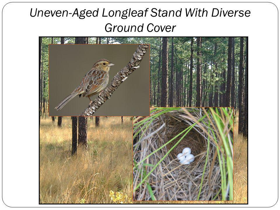 Uneven-Aged Longleaf Stand With Diverse Ground Cover