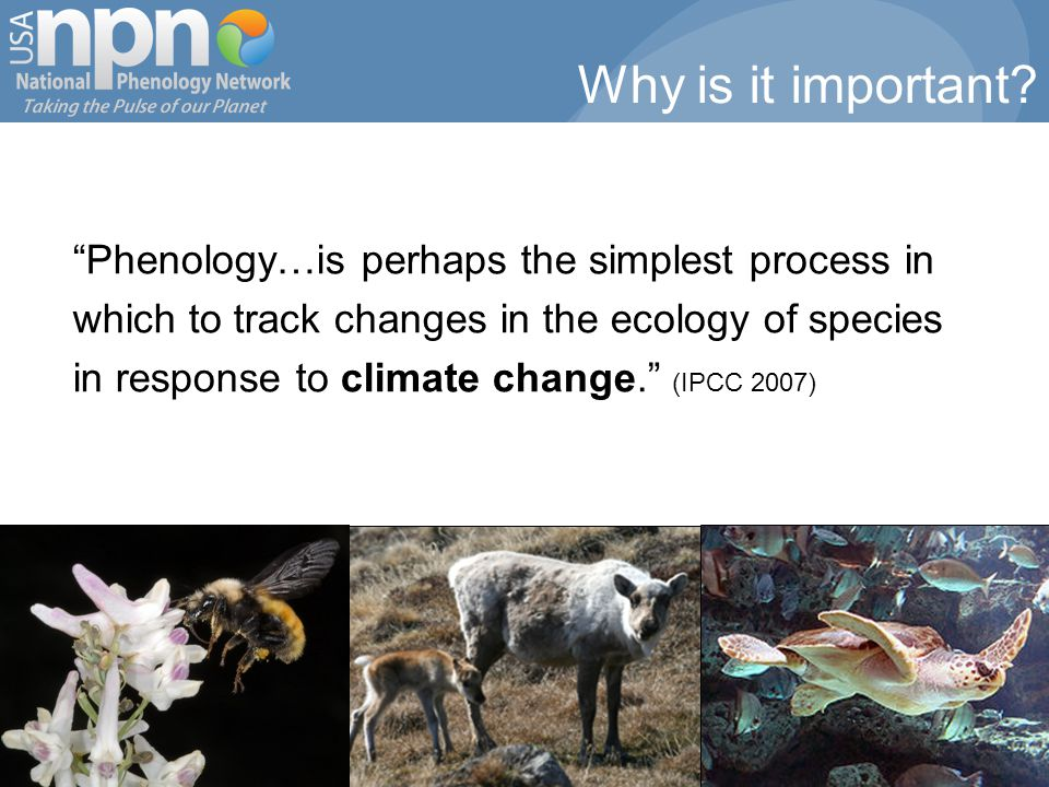 Phenology…is perhaps the simplest process in which to track changes in the ecology of species in response to climate change. (IPCC 2007) Why is it important